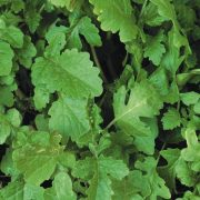 green-manure-mustard-white-tilney-1845-p